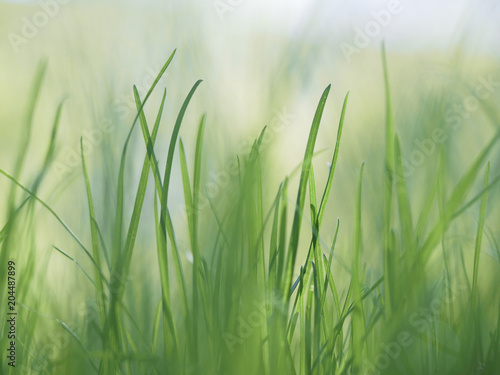 Photo  Green the young the grasses. Macro grass blade