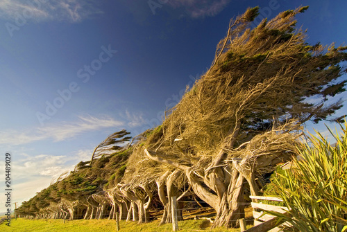 Fotografija Windswept coastal trees at Slope Point in New Zealands Catlins region