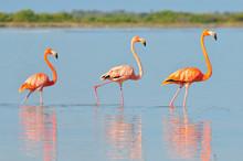 A Row Of American Flamingos (Phoenicopterus Ruber Ruber American Flamingo) In The Rio Lagardos, Mexico.