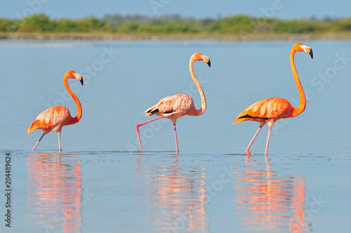 Poster de jardin Flamingo A row of American flamingos (Phoenicopterus ruber ruber American Flamingo) in the Rio Lagardos, Mexico.