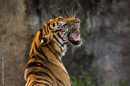 Fototapeta premium Ryczący tygrys azjatycki zbliżenie