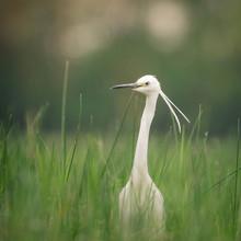 Bird In Tall Grass