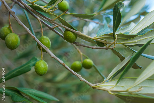 Wall Murals Olives tree closeup