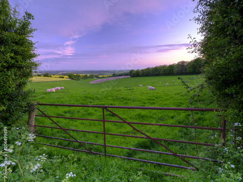 Fototapeta Spring sunset over South Downs field of sheep with the Solent and Isle of Wight
