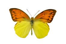 Butterfly Hebomoia Leucippe
