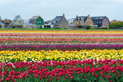 Colorful tulip fields in front of the holland country houses.
