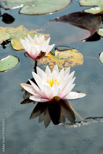 Deurstickers Waterlelies Water Lilly in English Pond