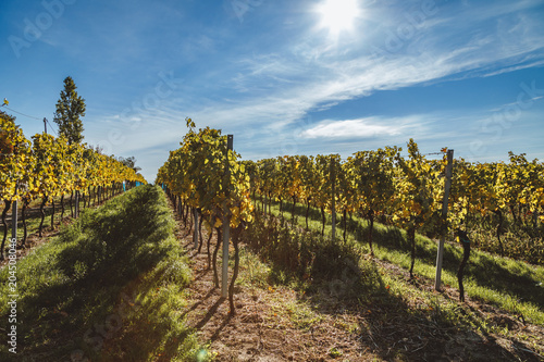 Foto op Canvas Wijngaard Autumnal view of vineyard in Vienna (Austria)