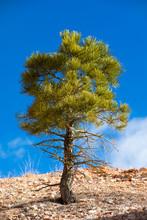 Ponderosa Pine Tree In Bryce C...