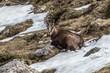 Gemse im Gebirge, hockend auf Schneefeld im Rofangebirge, Tirol, Österreich