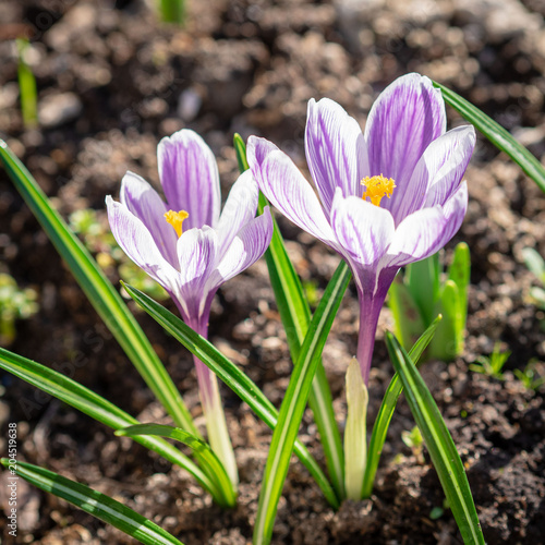 Staande foto Krokussen spring awakening of nature, flowering of the first flowers, purple crocuses in sunlight