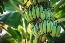 Green Banana On Plant Tree.