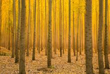 Golden Yellow Autumn Forest