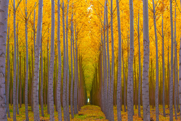 FototapetaTree Tunnel - Golden Yellow Autumn Colors in Forest
