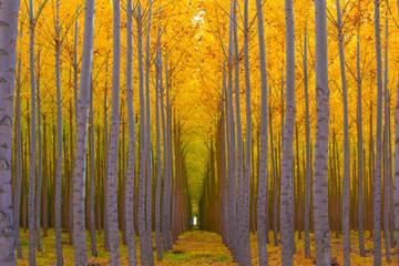Fototapeta Skandynawski Tree Tunnel - Golden Yellow Autumn Colors in Forest