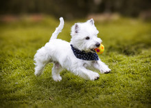 A Westie Dog Blue Scarf Running On The Grass With A Ball In His Mouth