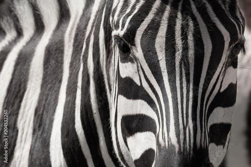 Aluminium Prints Zebra cebra