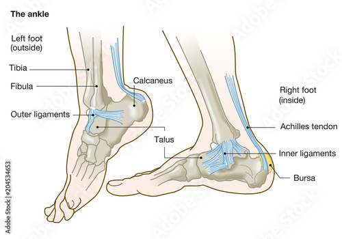 Leinwand Poster the ankle, anatomy, medical illustration with caption