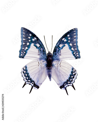 Obraz na plátně  Taxidermy - Blue and white swallowtail butterfly, negative and isolated on white