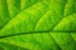 Fresh green leaf texture macro background close-up
