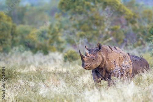 Black rhinoceros in Kruger National park, South Africa