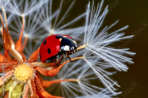 Poster Natuur Dandelion seeds close up and ladybug