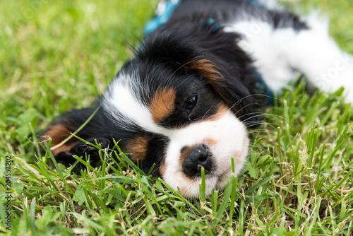 Fototapeta cavalier king charles spaniel puppy
