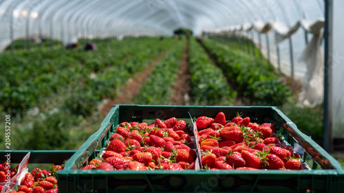 Fotografia Field with strawberry harvest, farmer picking strawberries, organic farming conc