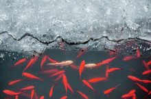 Red Carps Under The Ice In The...