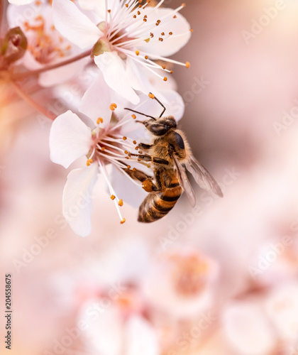 Recess Fitting Bee Little bee pollinates cherry flowers
