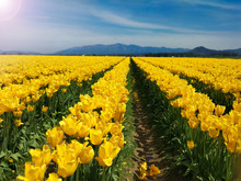 Field Of Yellow Tulips In The Mountains. Seattle Festival.
