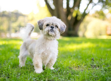 A Cute Shih Tzu Mixed Breed Do...