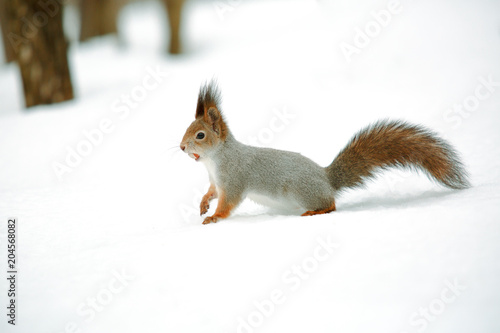 Deurstickers Eekhoorn Squirrel with nut in the snow