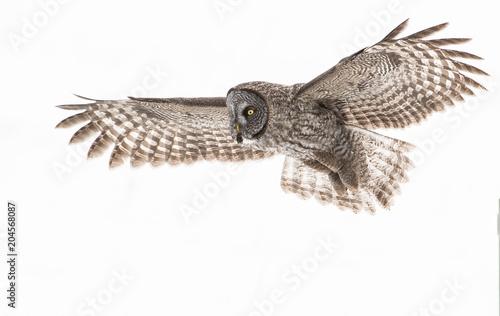Valokuvatapetti Great Grey Owl