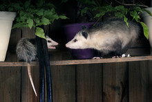 Two Opossum Young And Adult Fi...