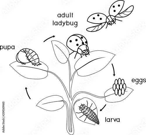 Life cycle of ladybug coloring page. Sequence of stages of ...