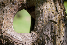 Large Hollow Tree On A Background Of Green Foliage. Serves Nest For Birds And Shelter For Animals. Shallow Depth Of Field