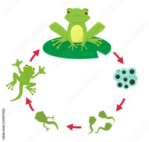 Fototapeta premium Cykl życia żaby