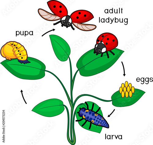 Fototapeta premium Life cycle of ladybug. Sequence of stages of development of ladybug from egg to adult insect