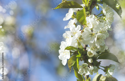 Beautiful pear blossom in spring time over blue sky.