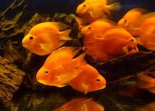 Tropical Blood Parrot Fish