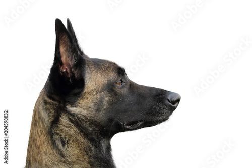 Carta da parati portrait d'un chien berger belge malinois attentif aux ordres au regard vif et j