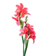 Pink Canna Lily Flowers