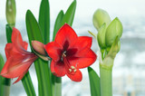 Blooming red amaryllis and flower bud of white amaryllis, blossom of bulbous houseplants on window sill in spring