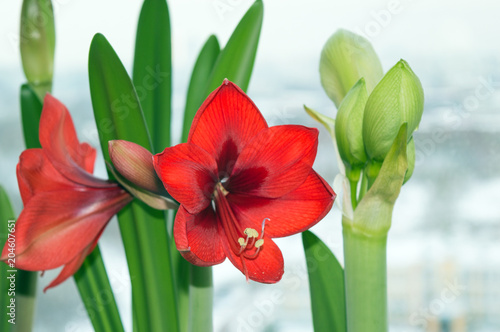 Blooming red amaryllis and flower bud of white amaryllis, blossom of bulbous hou Wallpaper Mural