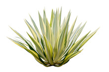 Agave Plant Isolated On White ...