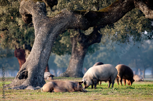 Stickers pour porte Pierre, Sable Iberian pigs grazing among the oaks