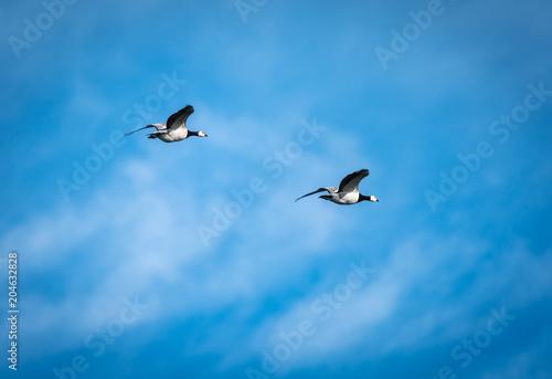 White-headed geese - barnacle gees