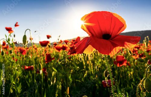 Plakat kwiaty maku z bliska w polu. piękne letnie tło