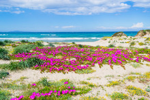 Pink Flowers By Platamona Shor...